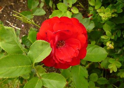 Rosen – schön und vitaminreich