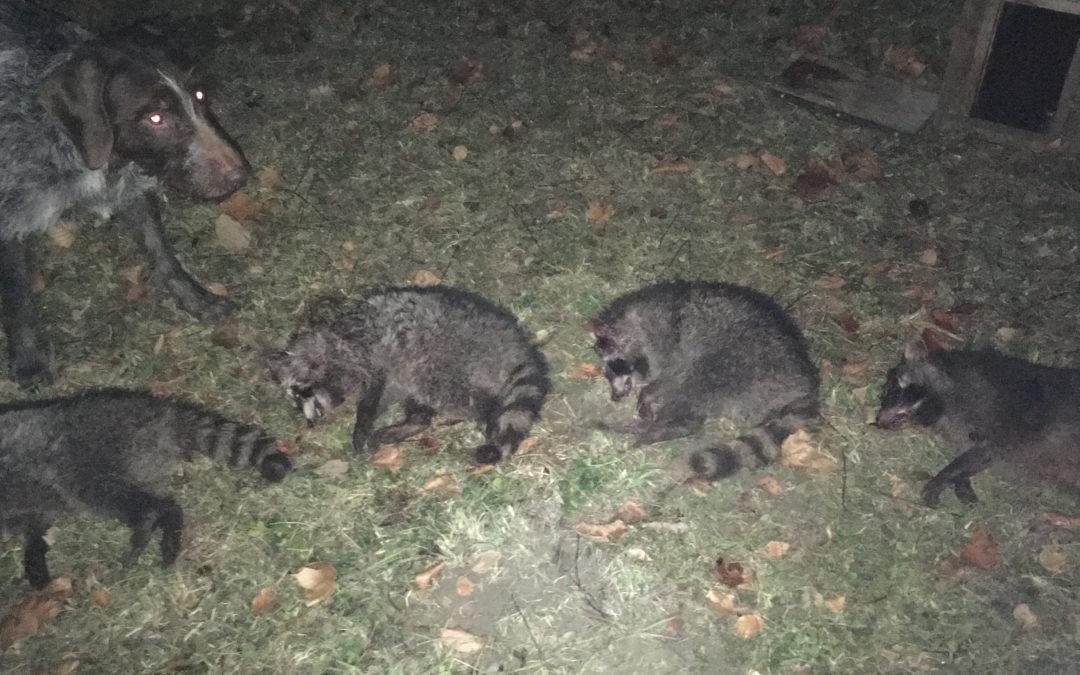 Sauen und Waschbären